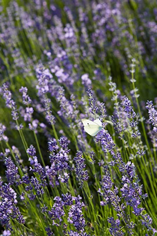 Schmetterling auf Lavendel im Oberaargau