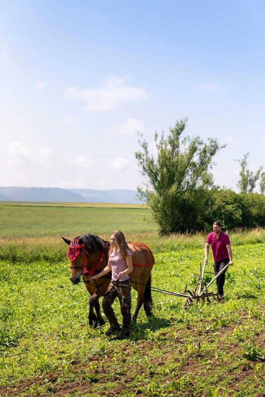 Bauer Egon und Fiona Tschol bestellen Lupinen-Felder mit Pferd