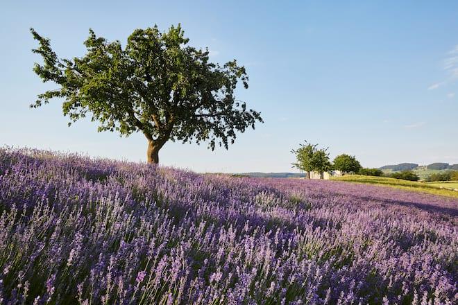 Lila Lavendelfeld in Kleindietwil BE mit Bäumen